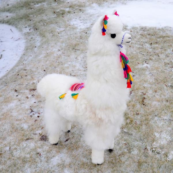 Display Alpaca - M