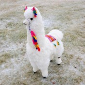 Display Alpaca - S