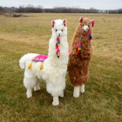 Display Alpaca